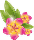 Pink frangipani flower Stock Photo
