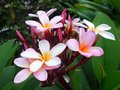 Pink frangipani flowers many growing on tree Stock Photography