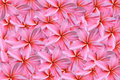 Pink frangipani or plumeria flowers Royalty Free Stock Photography