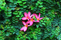 Pink Frangipani or Plumeria on Green leaf wall Royalty Free Stock Photo