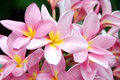 Pink frangipani ,plumeria, spa flowers Royalty Free Stock Photo