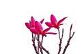 Pink Frangipani, Plumeria, Templetree,Thai flower