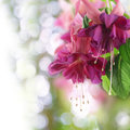 Pink fuchsia flower close up of Royalty Free Stock Images