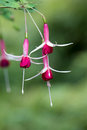 Pink fuchsia flowers on blurred background closeup Stock Image