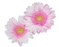 Pink garbera flowers on white two gerbera iaolated a background Stock Photography