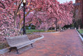 Pink garden of blooming magnolia trees a beautiful brick walkway with park bench leads through a in spring in washington dc Royalty Free Stock Photography