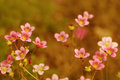 Pink garden flowers Royalty Free Stock Photo