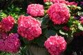 Pink Gardenias in a Pot Royalty Free Stock Photo