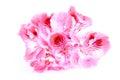 Pink Geranium Flower On White