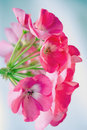 Pink geranium from side Royalty Free Stock Photos
