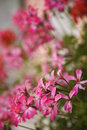 Pink geraniums. Stock Images