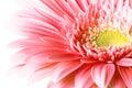 Pink gerber Royalty Free Stock Photo