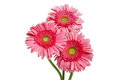 Pink gerber daisies group of three gerbera isolated on a white background Royalty Free Stock Images