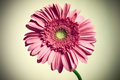 Pink gerber daisy flower with vignette Royalty Free Stock Photos