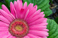 Pink gerber daisy in garden up close Royalty Free Stock Image