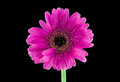 Pink Gerber Daisy Royalty Free Stock Photo