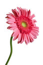 Pink gerber daisy single gerbera isolated on a white background Royalty Free Stock Image