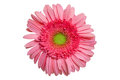 Pink gerber daisy top view of a gerbera flower isolated on a white background Stock Photo