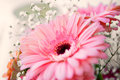 Pink gerber flower close up of bright on an defocused background Royalty Free Stock Photo