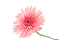 Pink gerber flower isolated on white Royalty Free Stock Photo