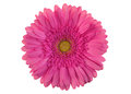 Pink gerber flower Royalty Free Stock Photo