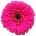 Pink Gerber flower on white Royalty Free Stock Photo