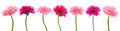 Pink gerber flowers isolated. Royalty Free Stock Photo
