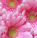 Pink gerber flowers: Royalty Free Stock Photo
