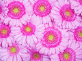 Pink Gerber flowers Royalty Free Stock Photo