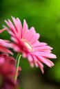 Pink gerbera daisies in the garden Stock Photo