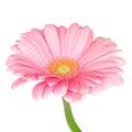Pink gerbera daisy Royalty Free Stock Photo