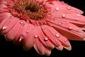 Pink gerbera daisy on the black Royalty Free Stock Photo