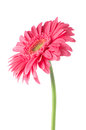 Pink gerbera daisy flower Royalty Free Stock Photo