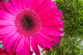 Pink gerbera daisy flower on a green spring background Royalty Free Stock Photo