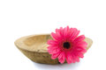 Pink gerbera daisy flower in wooden bowl isolated Stock Images