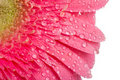 Pink gerbera with drops of water Royalty Free Stock Photo
