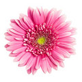 Pink gerbera flower Royalty Free Stock Photo