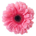 Pink gerbera flower Royalty Free Stock Image