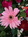 Pink gerbera flower beautiful of Stock Photography