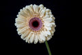 Pink gerbera flower on black background Royalty Free Stock Photo