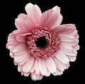 Pink gerbera flower, black isolated background with clipping path. Closeup. no shadows. For design. Royalty Free Stock Photo