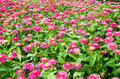 Pink gerbera flower fields of Stock Photography