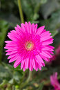 Pink gerbera flower in the garden Stock Photography