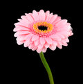 Pink gerbera flower with green stem isolated on black background Stock Images