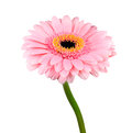 Pink gerbera flower with green stem isolated on white background Stock Photography