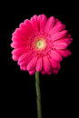 Pink gerbera flower isolated black Stock Photo