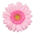 Pink gerbera flower isolated macro on white Royalty Free Stock Photos