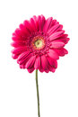 Pink gerbera flower isolated white Royalty Free Stock Images