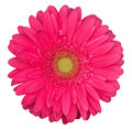 Pink gerbera flower isolated on the white background Royalty Free Stock Photo