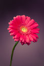 Pink gerbera flower on purple background Stock Photography